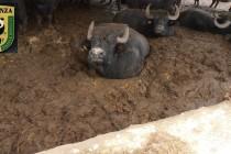Allevamenti bufalini tra sporcizia e topi. Sequestri e denunce
