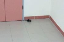 Topo si aggira nei corridoi dell'ospedale…