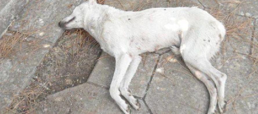Cani avvelenati, torna il killer dei randagi