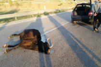 Mucche investite ed uccise in autostrada