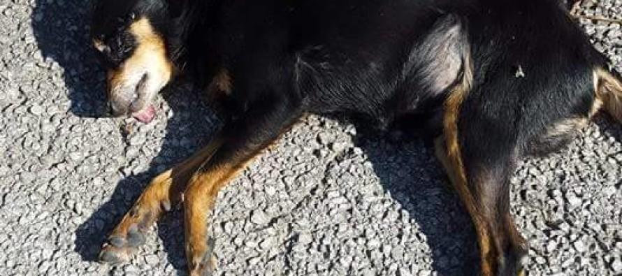 Due cani avvelenati in poche ore, è caccia al killer dei randagi