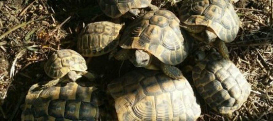 Ladri di tartarughe fanno razzia  in un recinto: rubati 13 esemplari