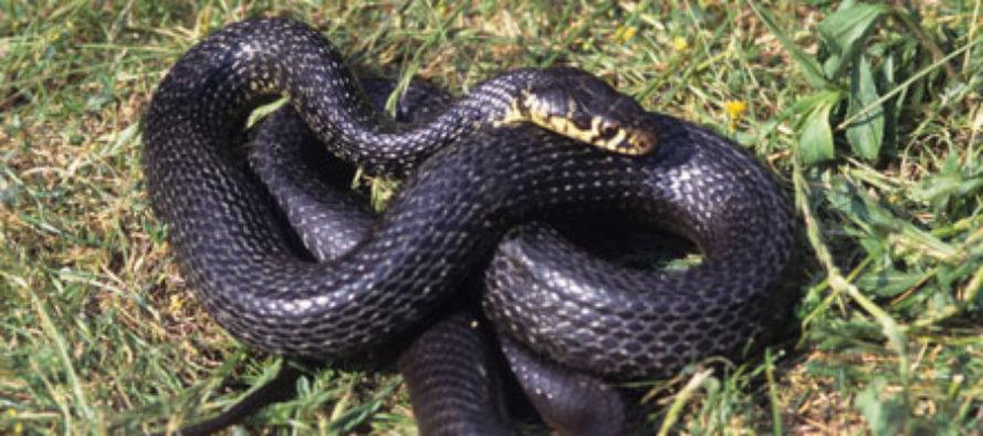 Serpenti dai canali di messa in sicurezza fino alle abitazioni. Allarme a Sarno