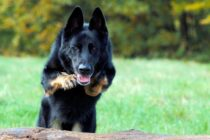 Ladri in casa messi in fuga dai cani